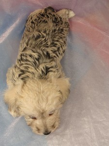Male schnoodle pup 3