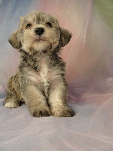 Male schnoodle puppy for sale 30 Born March 20th 2012 3
