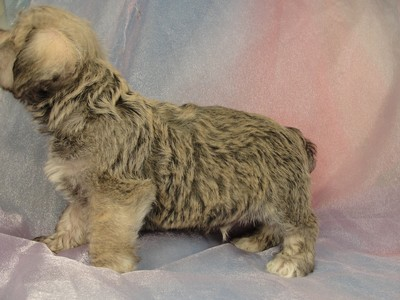 Male schnoodle puppy for sale 30 Born March 20th 2012 5