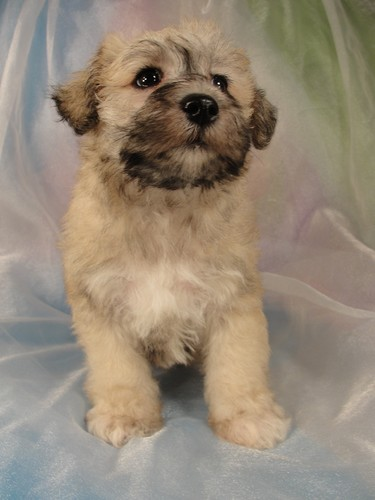 Male schnoodle Puppy for sale #3 Born February 25, 2012 3