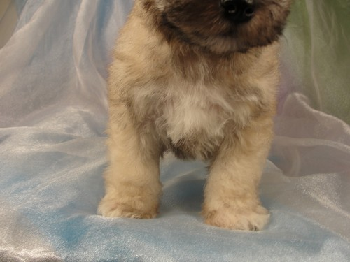 Male schnoodle Puppy for sale #3 Born February 25, 2012 2