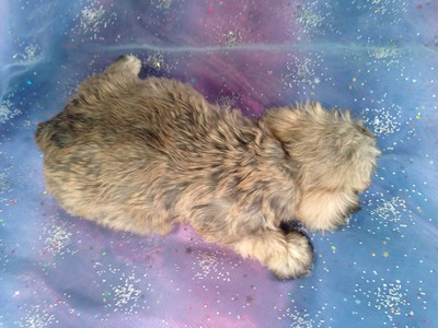 Female schnoodle Puppy for Sale #1 Born February 20, 2013| Iowa Puppies for sale Ready April 2013 2