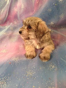 Female schnoodle Puppy for Sale #1 Born February 20, 2013| Iowa Puppies for sale Ready April 2013 3