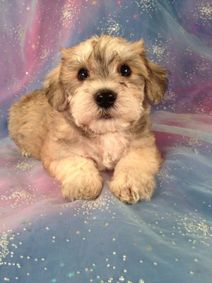 Male Schnoodle Puppy for sale #2  Born February 20th 2013| Easy location to drive to if you are located in Wisconsin or Illinois!