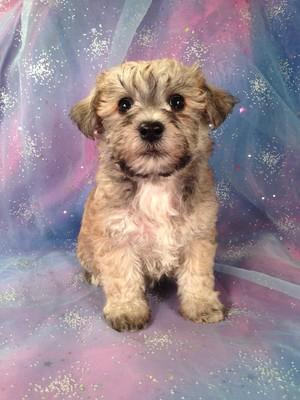 schnoodle puppy for sale #3 Born February 20th 2013| Iowa dog breeders ...