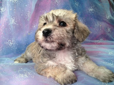 Male schnoodle Named ToDD 3