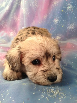 Male Schnoodle Puppy for sale #6  Born February 20th 2013|Iowa, Minnesota, Wisconsin, and Illinois, are all within driving distance of Purebredpups
