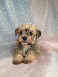 Female Miniature Schnoodle Puppy for Sale Iowa Breeder September 2012 2