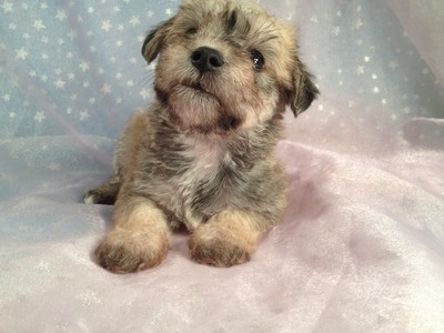 Female Miniature Schnoodle Puppy for Sale Iowa Breeder September 2012 3