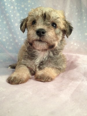 Female Miniature Schnoodle Puppy for Sale Iowa Breeder September 2012