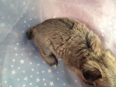 Female Miniature Schnoodle Puppy for Sale Iowa Breeder September 2012 4