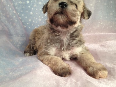 Wheaten Schnoodle Puppies Located in Iowa August 2012 Big Sale 2