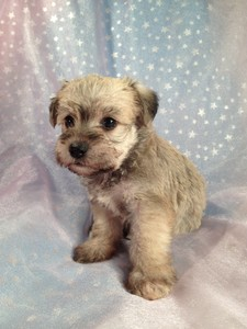 Wheaten Schnoodle Puppies Located in Iowa August 2012 Big Sale 3