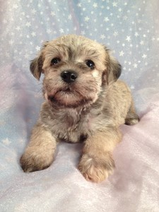 Wheaten Schnoodle Puppies Located in Iowa August 2012 Big Sale 4