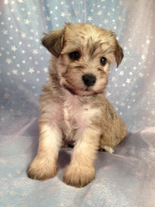 Schnoodle Female Puppy for sale 2012 Breeder Ready August 2