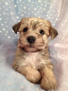 Schnoodle Female Puppy for sale 2012 Breeder Ready August 3