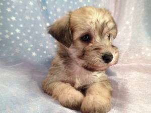 Schnoodle Female Puppy for sale 2012 Breeder Ready August