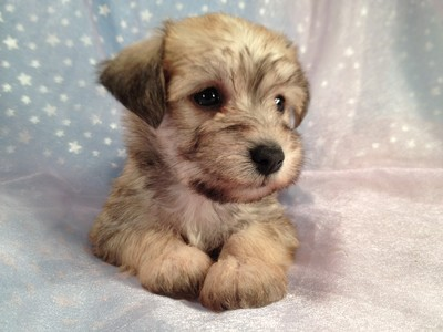 2012 Female Schnoodle Puppy For Sale By An Iowa Breeder