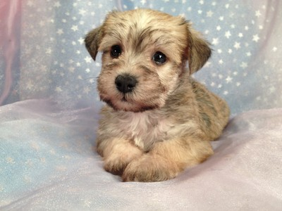 Schnoodle Female Puppy for sale 2012 Breeder Ready August 4