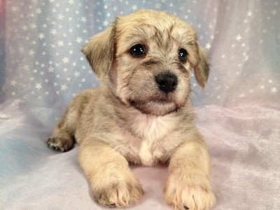 Male Schnoodle Puppies for sale Ready August 22, 2012