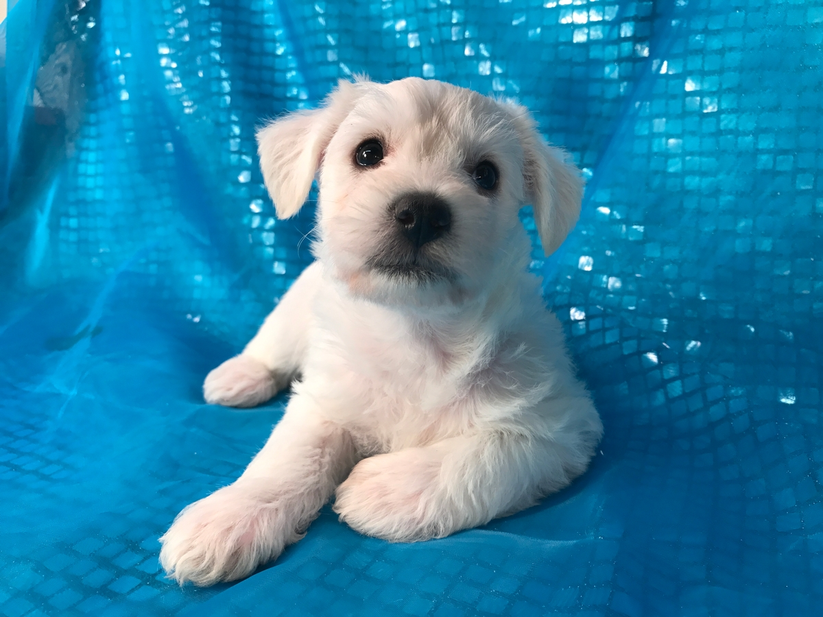 Female Schnoodle Puppy for Sale 2