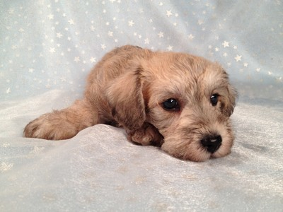 Private Iowa Breeder September 2012- Schnoodle puppies for sale 3