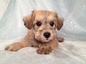 Private Iowa Breeder September 2012- Schnoodle puppies for sale