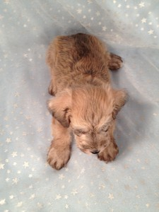 Private Iowa Breeder September 2012- Schnoodle puppies for sale 2