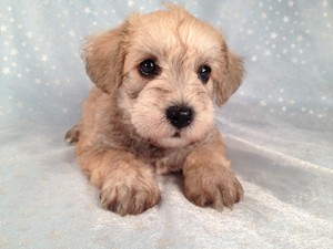 Male Schnoodle puppy for sale, Iowa breeder of 18 years