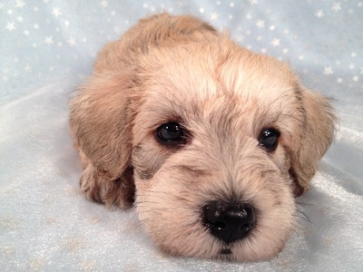 Light male Schnoodle $750 Iowa Sale on schnoodles Shipping $150