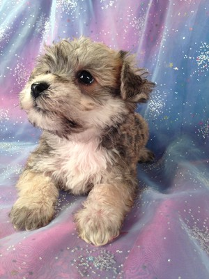 Male Schnoodle Puppy for sale #7 Born February 20th 2013|Attention Wisconsin and Illinois! We are Just a short Drive From You!