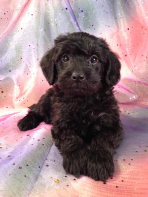 Black Male Schnoodle Puppy for sale #16 DOB October 1, 2013|Schnoodle Breeders in Los Angeles tend to charge More. Purebredpups ships to CA for only $150