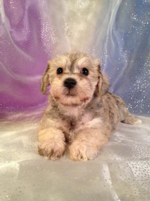 Iowa's Best Schnoodle Breeder Has Another Litter of Schnoodles For Sale!  The Puppies Will Be Ready Soon!