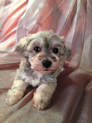 Male Schnoodle Puppy for sale #10 Born Sept. 1st 2013|Professional Schnoodle Dog Breeder Located Near the Iowa Minnesota Border