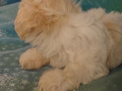 Male White with light apricot Shih Tzu Bichon Puppy Ready Now!  2