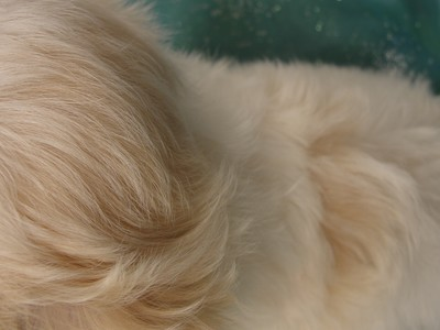 Male White with light apricot Shih Tzu Bichon Puppy Ready Now!  3