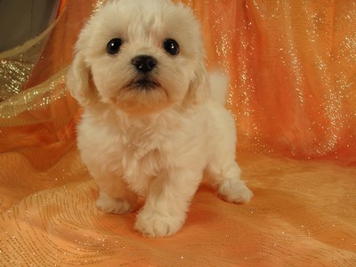 Male Shih tzu bichon Pup for sale Ready August 2012 3