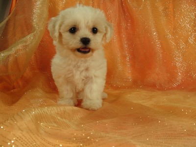 Male Shih tzu bichon Pup for sale Ready August 2012 4