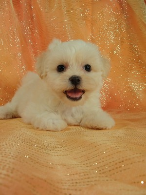 Female shih tzu Bichon teddy bear sale|Iowa breeder 2012