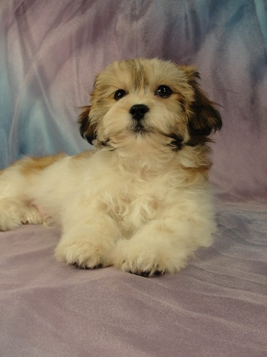 Male Shih tzu Bichon puppy for sale #13 Born November 26, 2011
