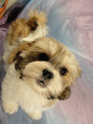 Male Shih tzu Bichon puppy for sale #13 Born November 26, 2011 5