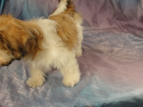 Male Shih tzu Bichon puppy for sale #13 Born November 26, 2011 3
