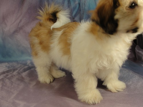Male Shih tzu Bichon puppy for sale #13 Born November 26, 2011 4