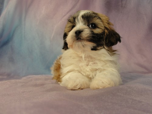Female Shih tzu Bichon puppy for sale #24 Born January 9th, 2012 2