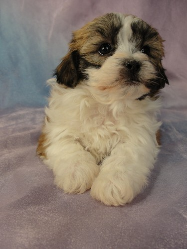 Female Shih tzu Bichon puppy for sale #24 Born January 9th, 2012 4