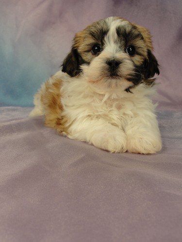 Female Shih tzu Bichon puppy for sale #24 Born January 9th, 2012 5