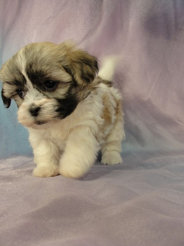Female Shih Tzu Bichon puppy for sale #25 Born January 9th 2012