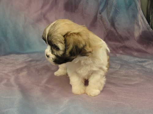 Female Shih Tzu Bichon puppy for sale #25 Born January 9th 2012 2