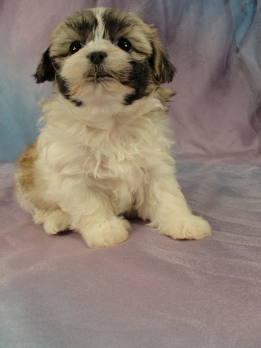 Female Shih Tzu Bichon puppy for sale #25 Born January 9th 2012 6