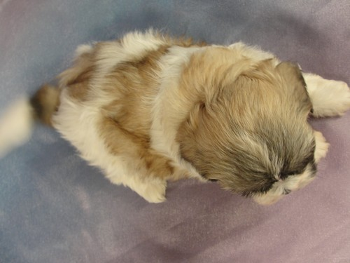 Female Shih Tzu Bichon puppy for sale #25 Born January 9th 2012 4